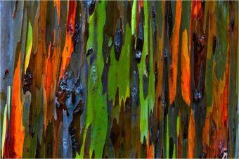amazing-trees-rainbow-eucalyptus-1