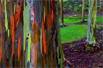 amazing-trees-rainbow-eucalyptus-2