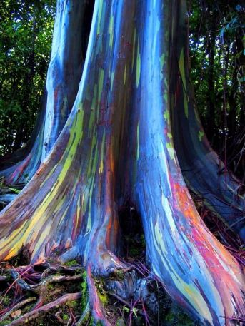 amazing-trees-rainbow-eucalyptus-4