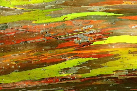 Rainbow-eucaliptus2