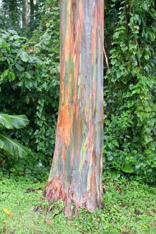 Rainbow-eucaliptus3