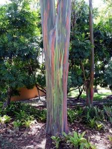 Rainbow-eucaliptus4