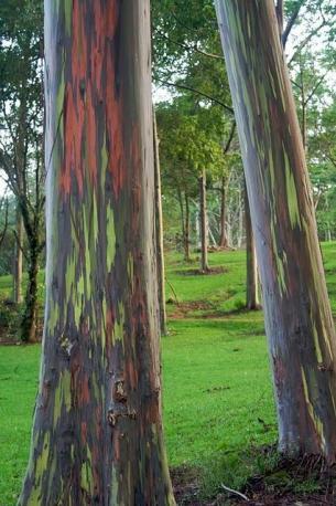 Rainbow-eucaliptus6